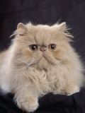 Close-Up of a Cream Persian Cat Photographic Print by D. Robotti