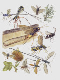 Close-Up of a Group of Sawflies Insects (Rhogogaster Viridis) Photographic Print