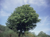 Low Angle View of a Sweet Chestnut (Castanea Sativa) Photographic Print by P. Puccinelli