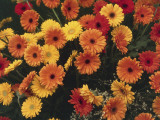 Close-Up of Transvaal Daisy Flowers (Gerbera) Photographic Print by C. Sappa