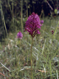 Fragrant Orchid Flower Growing in a Field (Gymnadenia Conopsea) Photographic Print by C. Delu