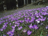 Crocus Flowers on Mountains, Reggio Apennines, Emilia-Romagna, Italy Photographic Print by R. Carnovalini