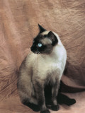 Close-Up of a Chocolate Point Siamese Cat Photographic Print by D. Robotti