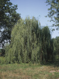 Weeping Willow Tree in a Field, Wisconsin, Usa (Salix Babylonica) Photographic Print by A. Curzi