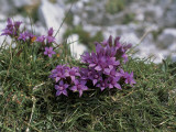 Close-Up of a Chiltern Gentian Flowers (Gentianella Germanica) Photographic Print by R. Carnovalini