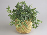 Close-Up of an English Ivy Plant Growing in a Pot (Hedera Helix) Reproduction photographique par G. Cigolini
