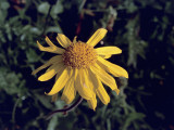 Close-Up of a Mountain Arnica Flower (Arnica Montana) Photographic Print by C. Delu