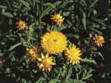 High Angle View of Strawflowers (Helichrysum Bracteatum) Photographic Print by C. Delu
