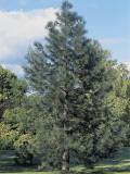 Macedonian Pine Tree on a Landscape (Pinus Peuce) Photographic Print by C. Sappa