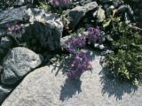 High Angle View of Alpine Toadflax Flowers (Linaria Alpina) Photographic Print by C. Delu