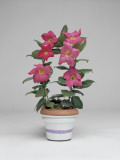 Close-Up of a Mandevilla Splendens Plant Growing in a Pot (Dipladenia Splendens) Photographic Print by C. Dani