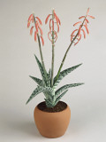 Close-Up of Coral Aloe Plant Growing in a Pot (Aloe Striata) Papier Photo par G. Cigolini