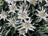 High Angle View of Edelweiss Flowers (Leontopodium Alpinum) Photographic Print by R. Sacco