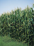 Corn Crop Growing in a Field (Zea Mays) Photographic Print by A. Curzi