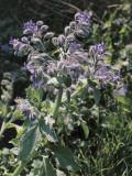 Close-Up of Common Borage Flowers (Borago Officinalis) Photographic Print by C. Delu