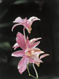 Close-Up of Cooktown Orchid Flowers (Dendrobium Phalaenopsis) Photographic Print by R. Sacco