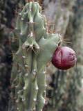 Close-Up of a Hedge Cactus (Cereus Peruvianus) Photographic Print by C. Sappa