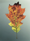 Close-Up of Northern Red Oak Leaf (Quercus Rubra) Photographic Print by A. Dagli Orti