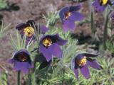 Close-Up of Pasque Flowers (Pulsatilla Vulgaris) Photographic Print by C. Sappa