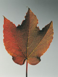 Close-Up of a Boston Ivy Leaf (Parthenocissus Tricuspidata) Photographic Print by A. Dagli Orti