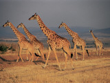 Five Giraffes on a Landscape, Masai Mara National Reserve, Kenya Photographic Print by F. Galardi