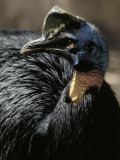Close-Up of a Cassowary (Casuarius Casuarius) Photographic Print