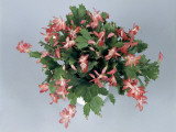 Close-Up of a Christmas Cactus Plant (Schlumbergera Russelliana) Reproduction photographique par G. Cigolini