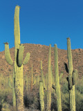 Cactus Plants in a Field, Saguaro Cactus, Sonoran Desert, Tucson, Arizona, Usa (Cereus Giganteus) Photographic Print by L. Romano