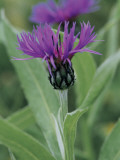 Close-Up of Perennial Cornflowers (Centaurea Montana) Photographic Print by R. Sacco