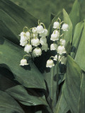 Close-Up of European Lily of the Valley Flowers (Convallaria Majalis) Photographic Print by E. Martini