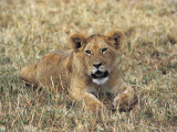 African Lion in a Field, Masai Mara National Reserve, Kenya (Panthera Leo) Photographic Print by F. Galardi
