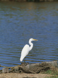 Side Profile of an Egret Photographic Print by W. Buss