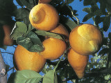 Fruits on a Citron Tree (Citrus Medica) Photographic Print by C. Sappa