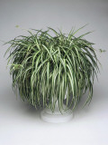 Close-Up of a Spider Plant (Chlorophytum Comosum) Photographic Print by C. Dani