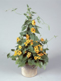 Close-Up of Black-Eyed Susan Vine Flowers Growing in a Pot (Thunbergia Alata) Photographic Print by G. Cigolini