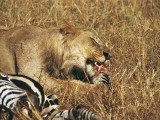 Close-Up of an African Lion Eating a Zebra, Masai Mara National Reserve, Kenya (Panthera Leo) Photographic Print by F. Galardi