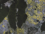 Close-Up of Map Lichen and Moss Photographic Print by L. Nadal