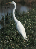 Close-Up of a Great White Egret Standing, Everglades National Park, Florida, Usa (Egretta Alba) Photographic Print
