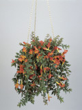 Close-Up of a Hanging Potted Plant of Goldfish Vine (Columnea Banksii) Photographic Print by G. Cigolini
