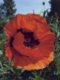 Close-Up of Oriental Poppy Flower (Papaver Orientale) Photographic Print by D. Dagli Orti