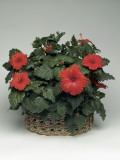 Close-Up of Hibiscus Hybrid Flowers Growing in a Basket Photographic Print by C. Dani