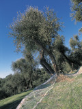Low Angle View of Olive Trees in the Forest (Olea Europaea) Photographic Print by S. Montanari
