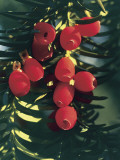 Low Angle View of Fruits on Yew Tree (Taxus Baccata) Photographic Print by C. Sappa
