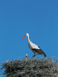 White Stork with its Young in a Nest (Ciconia Ciconia) Photographic Print by W. Buss