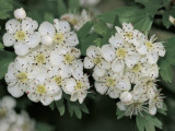 Close-Up of White Flowers, Hawthorn Photographic Print by S. Montanari