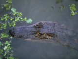 High Angle View of an Alligator, Louisiana, Usa Photographic Print by W. Buss