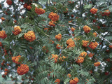 Close-Up of a Mountain Ash Tree (Sorbus Aucuparia) Photographic Print by C. Delu