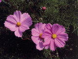 Close-Up of Garden Cosmos Flowers (Cosmos Bipinnatus) Photographic Print by C. Delu