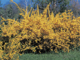 Forsythia Flowers in a Field Photographic Print by M. Cerri