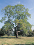 Japanese Pagodatree on a Landscape (Styphnolobium Japonicum) Photographic Print by C. Delu